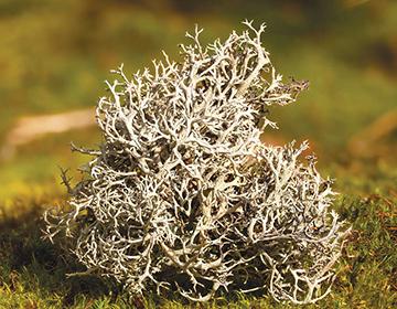 Исландский мох (цетрария) от кашля