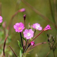 Целебные цветы с виду неказисты
