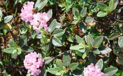 Белое крыло в розовом цвету