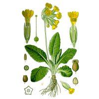 Первоцвет лекарственный на иллюстрации