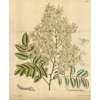 Стифнолобий японский в ботаническом журнале