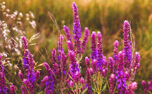 Цветки буквицы в поле