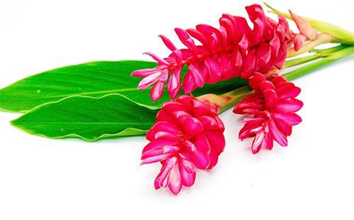Цветк имбиря