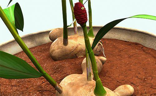 Изображение - Как вырастить имбирь в домашних условиях kak-vyrastit-imbir-v-domashnih-usloviyah-v-gorshke-sciencepics-500x310