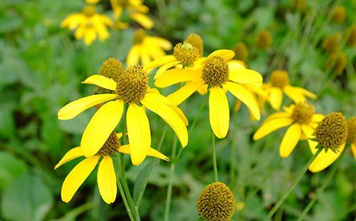 Цветы топинамбура