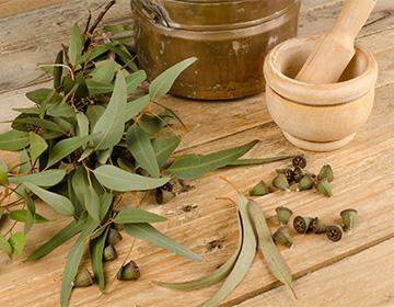 Дерево Эвкалипт выращивание в домашних условиях, лечебные свойства
