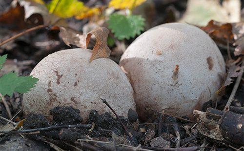 Круглые грибы веселка