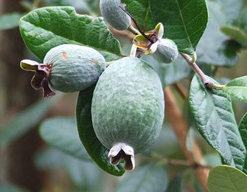 Польза и вред фейхоа для организма мужчины как влияет на потенцию фрукт