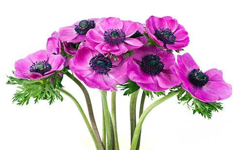 Фиолетовые цветы ветренницы