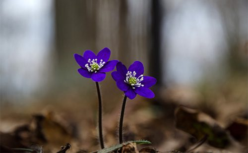 Синие цветы ветренницы (анемоны)