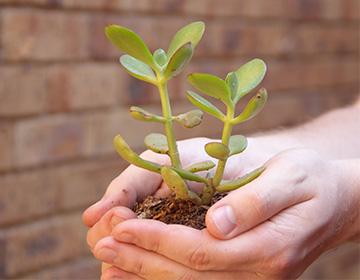 Растение толстянка или денежное дерево лечебные свойства