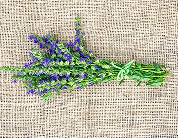 Что такое иссоп — описание растения, польза и вред, применение в кулинарии и народной медицине