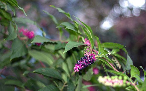 Растение лаконос