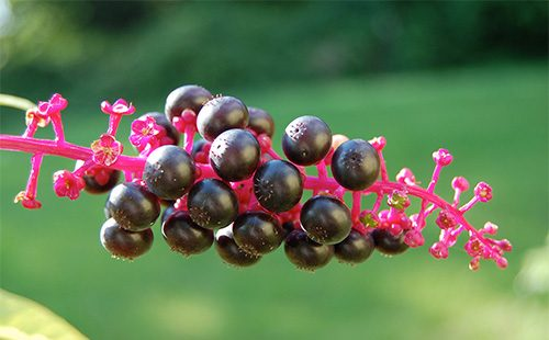 Черные ягоды лаконоса