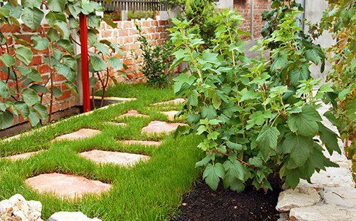 Куст смородины во дворе