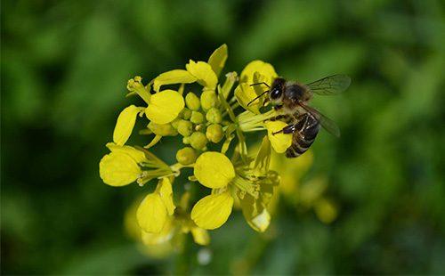 Пчела собирает пыльцу с цветка сурепки