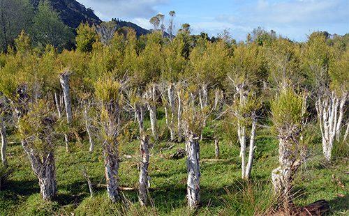 Плантации чайных деревьев