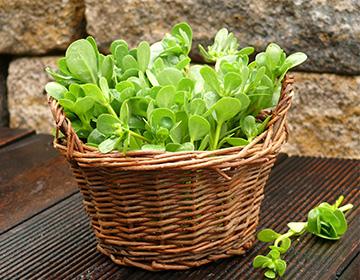 Портулак овощной - полезен для здоровья