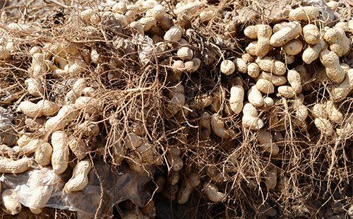 Клубни арахиса