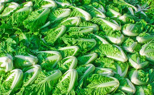 Много пекинской капусты