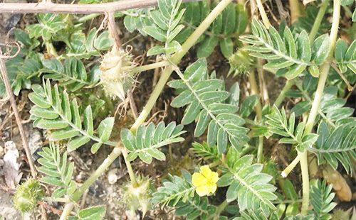 Якорцы - стелющееся растение
