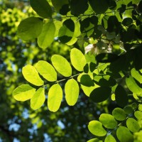 Листья следует собирать, пока они ещё зелёные