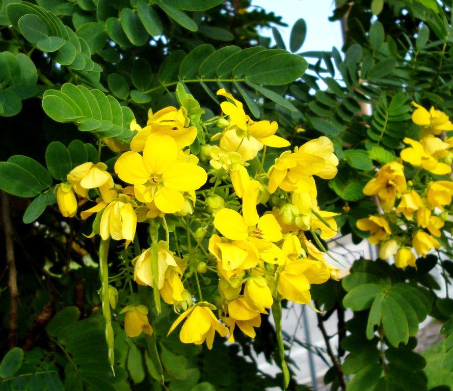 Цветы акация желтая фото
