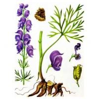 Части царь-травы на рисунке