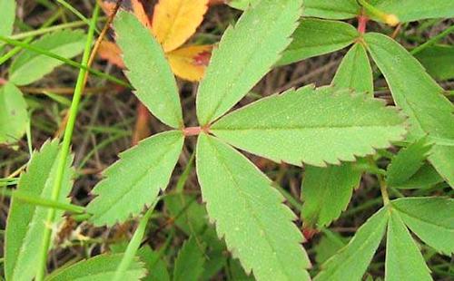 Сочный лист болотника
