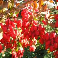 Ярко-алые удлинённые ягоды