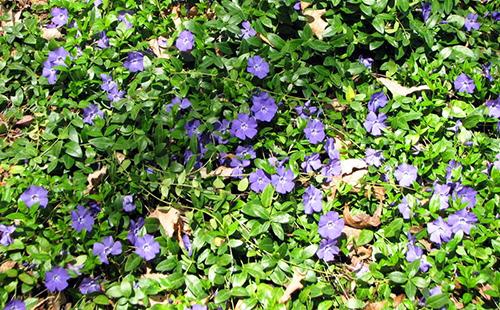 Распространение по земле голубых цветов