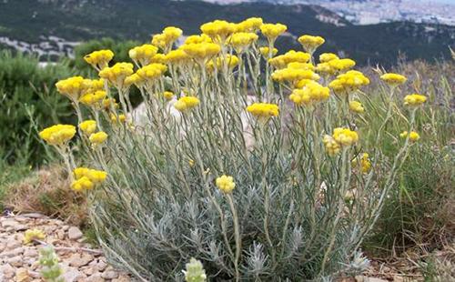 Куст сухоцвета в естественной среде обитания