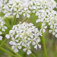 Обманчиво нежные, белые цветы болиголова