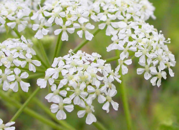 Фото цветка болиголова