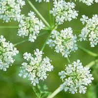 Белые зонтики ядовитого растения