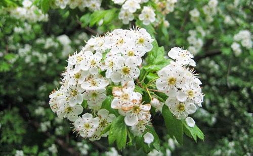 Из свежих цветов можно сделать полезную настойку