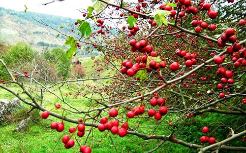 Барыня-дерево плодоносит на приволье
