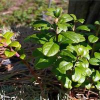 Зелёный кустик бруслинчика