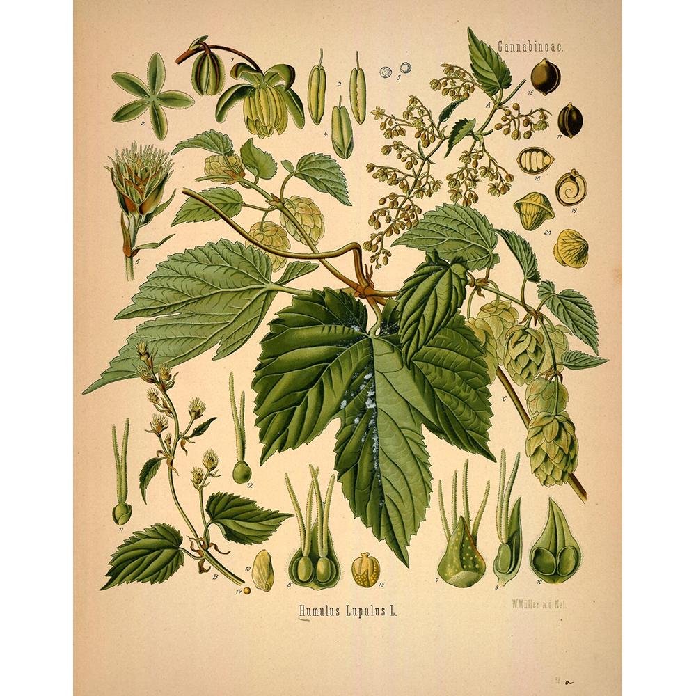 Шишки хмеля: лечебные свойства и противопоказания, рецепты народной медицины