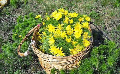 На траве стоит полная корзина жёлтых цветов
