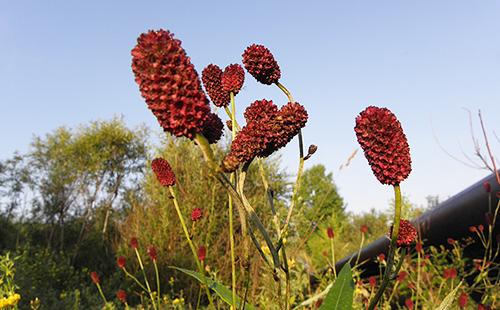 Пронизанные солнцем цветы луговки
