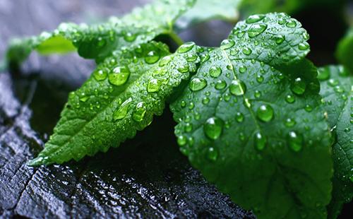 Свежие листья с каплями воды