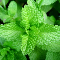 Ярко-зелёная розетка душистых листьев