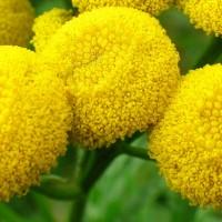 Соцветия ромашника крупным планом