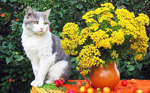 На столе разбросаны мелкие яблоки, сидит черно-белая кошка и стоит глиняный кувшин с жёлтыми цветами