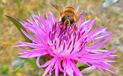 Пчёлы любят василёк луговой
