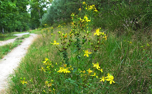 Неприхотливое растение цветёт прямо у дороги