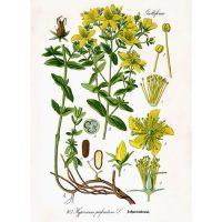 Страничка из книги Флора Германии, Австрии и Швейцарии