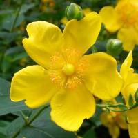 Радостный цветок зелья светоянского