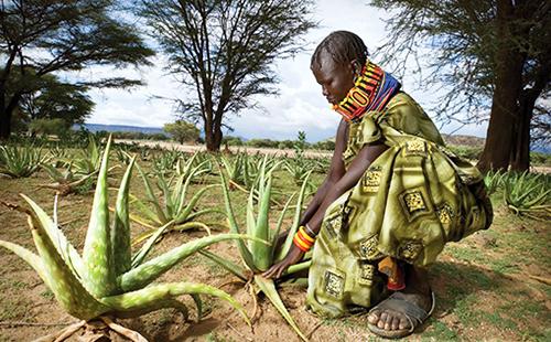 Африканка в национальном костюме возится с кустом алое